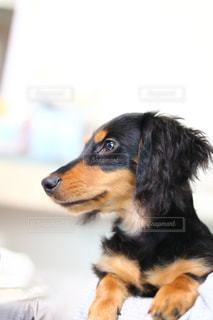 黒と茶色の犬の写真・画像素材[1722806]