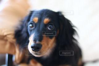 カメラを見て、茶色と黒犬の写真・画像素材[1722820]