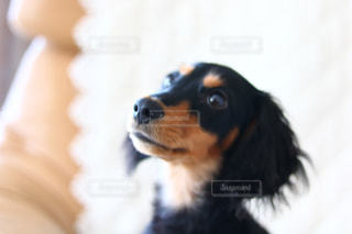 カメラを見て茶色と白犬の写真・画像素材[1722831]