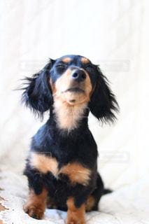 ベッドの上で横になっている茶色と黒犬の写真・画像素材[1722871]
