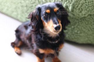 犬の写真・画像素材[2057091]