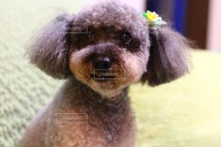 犬のクローズアップの写真・画像素材[2421842]