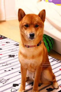 犬の写真・画像素材[2472925]