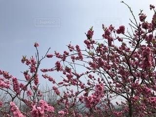 木にピンクの花のグループの写真・画像素材[1082427]