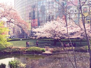 桜の写真・画像素材[297656]