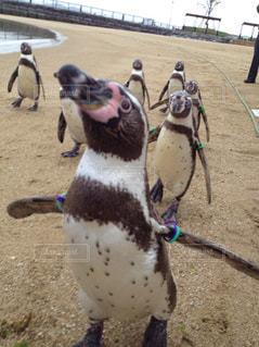 ペンギン - No.298891