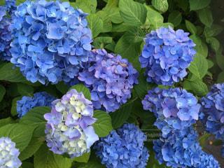 近くに紫の花の房のアップの写真・画像素材[985789]