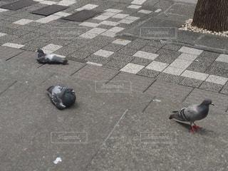 歩道に立っている鳩の写真・画像素材[987125]
