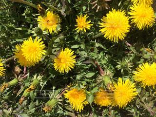 黄色の花の束の写真・画像素材[990499]