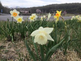 草の中の黄色い花の写真・画像素材[990500]