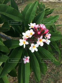 南国 プール 海 サイパン ハワイ グアム オーシャンビュー 花の写真・画像素材[300697]