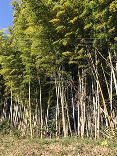 竹藪 竹 林 森 草むら 緑の写真・画像素材[300705]