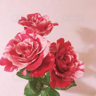赤とピンクのマーブルバラの写真・画像素材[1273950]