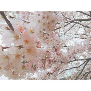 春の写真・画像素材[300213]