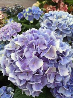 花の写真・画像素材[520331]