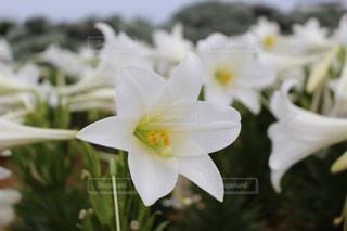 白いゆりの花の写真・画像素材[1157878]