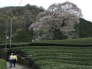 桜 - No.300769