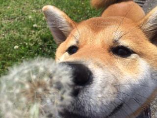 #いぬ#犬#柴犬#タンポポの写真・画像素材[300723]