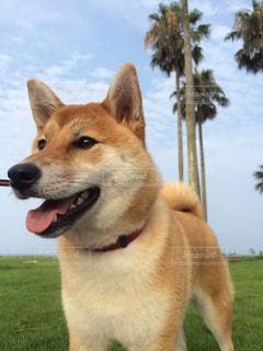 #犬#いぬ#柴犬の写真・画像素材[300724]