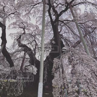 桜の木の写真・画像素材[1119928]