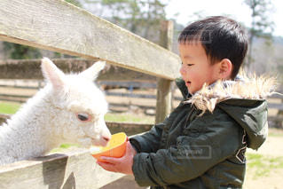 アルパカに餌を与えあげる子供の写真・画像素材[1121860]