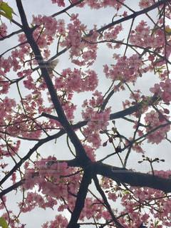 No.352684 桜
