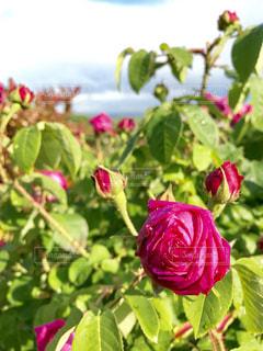 薔薇の写真・画像素材[593599]