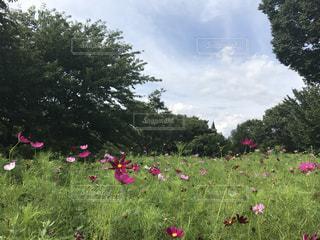 秋桜の写真・画像素材[663167]