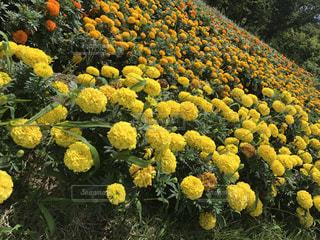 yellowの写真・画像素材[663176]