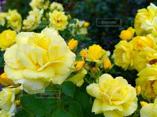花の写真・画像素材[302076]