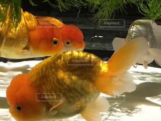 金魚 - No.302194
