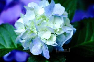ブルーの紫陽花 - No.739350