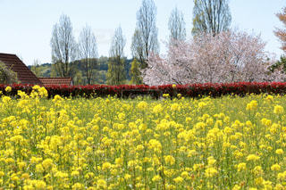 菜の花畑と桜の木 - No.983398