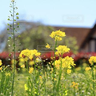 菜の花畑の写真・画像素材[983400]