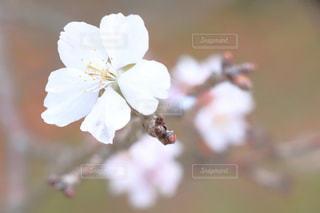 さくらの花のアップの写真・画像素材[983501]