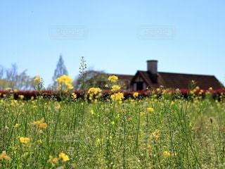 菜の花畑の写真・画像素材[983510]