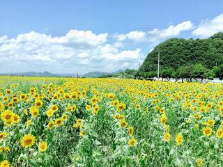 ひまわり畑の写真・画像素材[1168814]