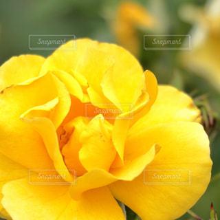 黄色い花(バラ)の写真・画像素材[1191052]