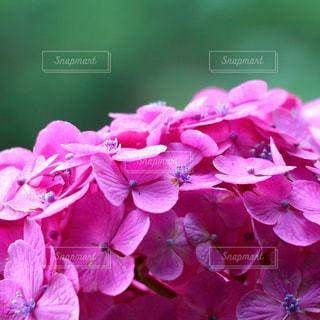 紫陽花のアップの写真・画像素材[1253650]