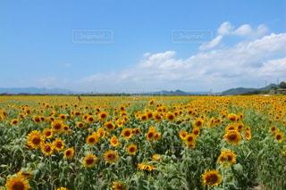 向日葵と青空の写真・画像素材[1253652]