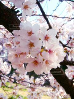 春の写真・画像素材[337894]