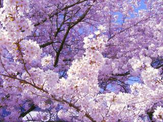 春の写真・画像素材[337896]