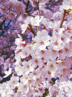 春の写真・画像素材[337897]