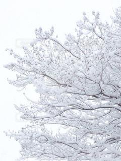 雪に覆われた木の写真・画像素材[979250]