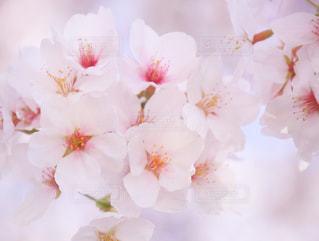 桜 - No.1126678