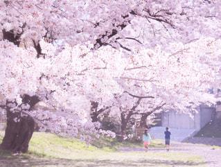 桜と過ごした日の写真・画像素材[1126682]