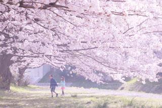 桜と過ごした日の写真・画像素材[1126683]