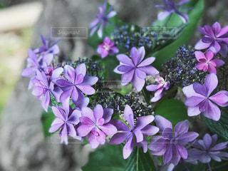 近くに紫の花のアップの写真・画像素材[1227827]