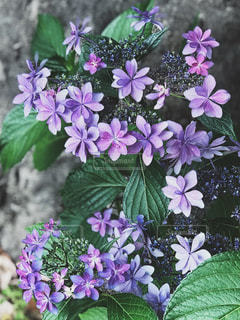 近くに紫の花のアップの写真・画像素材[1227836]