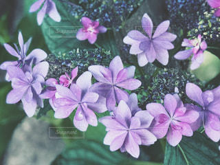 近くに紫の花のアップの写真・画像素材[1227839]